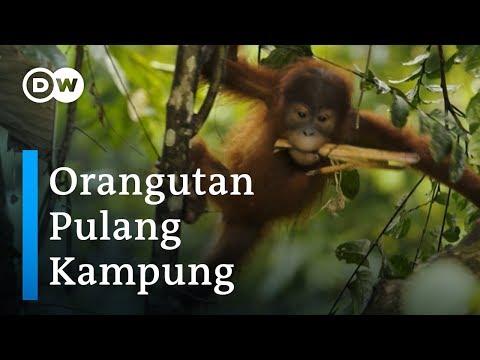 Orangutan Sumatra Belajar Kembali Hidup Bebas di Hutan Jambi