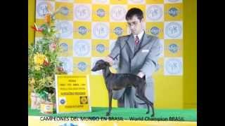 Kennel Flequillitos -pequeÑo Lebrel Italiano, Italian Greyhound Or Piccolo- Bilbao (spain)