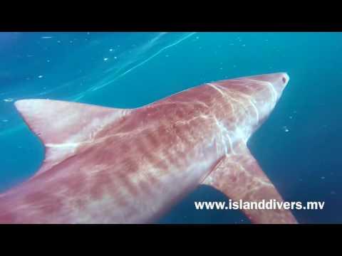 Tiger sharks in Ari atoll, Maldives
