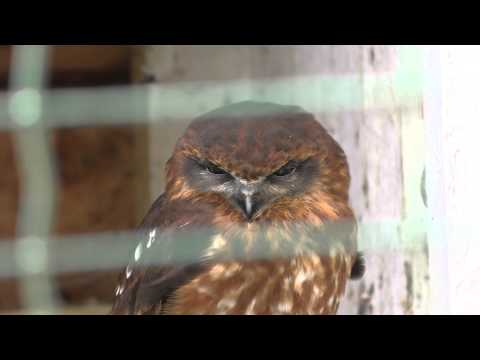 4K Video of Southern Boobook Owl