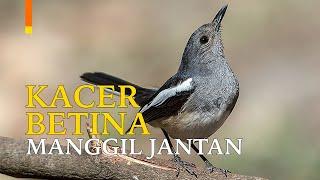 Download Suara Burung Kacer Betina Birahi Memancing Jantan   GACOR