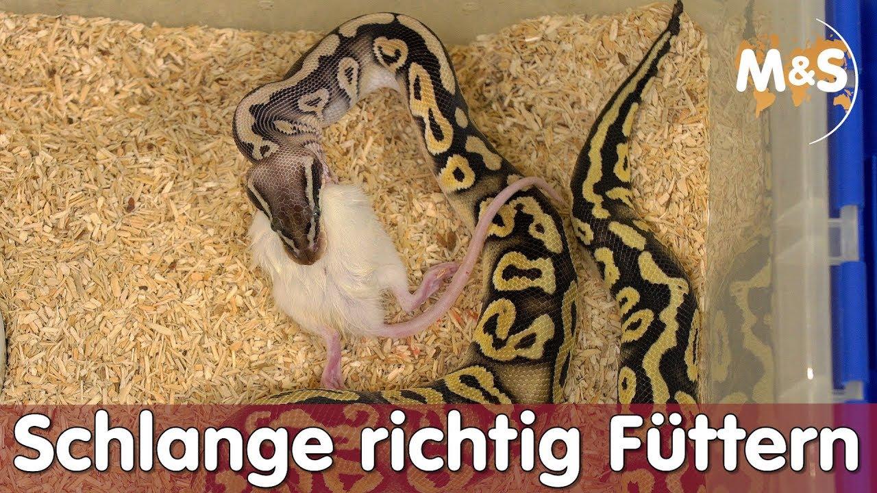 Anaconda frisst lebende frau