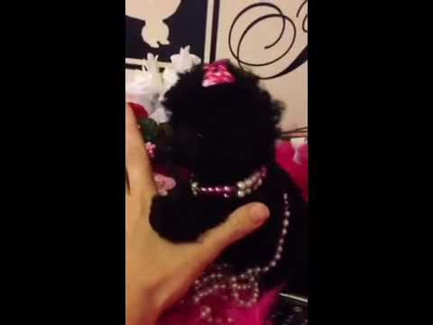 Micro teacup toy Poodle for sale female will stay very tiny
