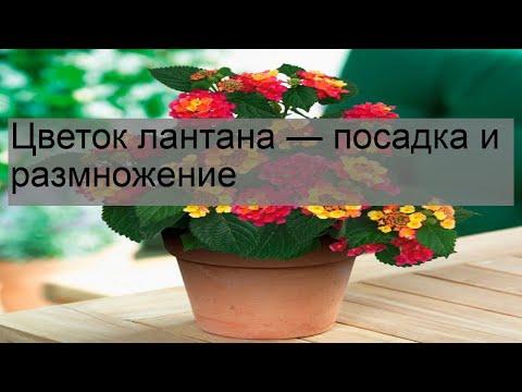 Вопрос: Растение камара лантана , как выращивать?