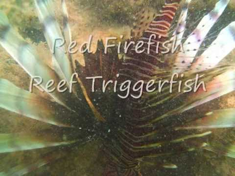 Red Firefish Reef Triggerfish.wmv