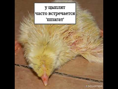 Как лечить шпагат у цыплят видео
