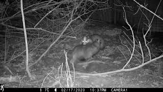 FEBRUARY: Badger sow emerges from sett; scent marking with boar