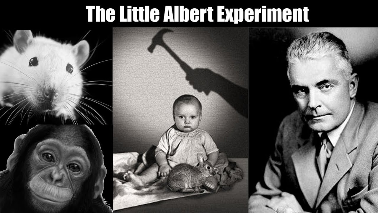 j b waston little albert experience John b watson carried out a classical conditioning experiment with a child (little albert) by making a loud noise behind the child's head (smashing two bars together) as the child was playing with a rabbit.