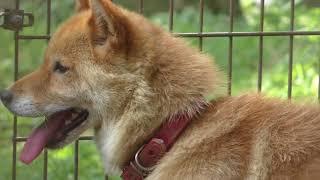 川上犬のさくらちゃん 小諸市動物園 2018年7月17日 川上犬(かわかみい...