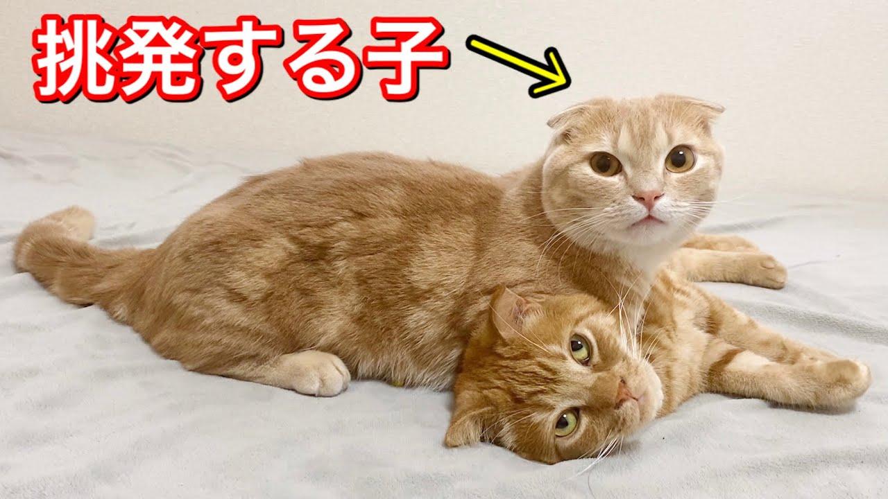 朝から兄猫に喧嘩を吹きかける短足猫