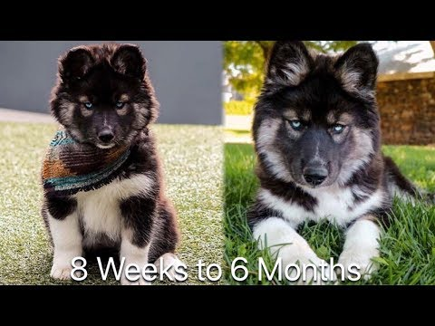 8 Weeks to 6 Months: My Husky Transformation