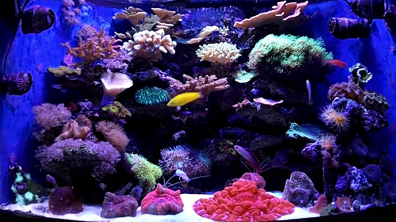 54 gallon corner reef aquarium saltwater fish corals for Reef tank fish