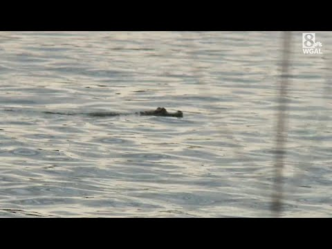 Pet Alligator Breaks Free Into Pennsylvania River, Recaptured By Owner