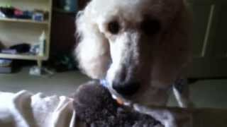 Poodle Barking And Growling