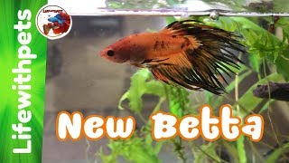 Unboxing a STUNNING new Betta Fish