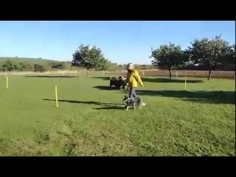 "Australian Cattle Dog ""Daydream Danggali"" No II"