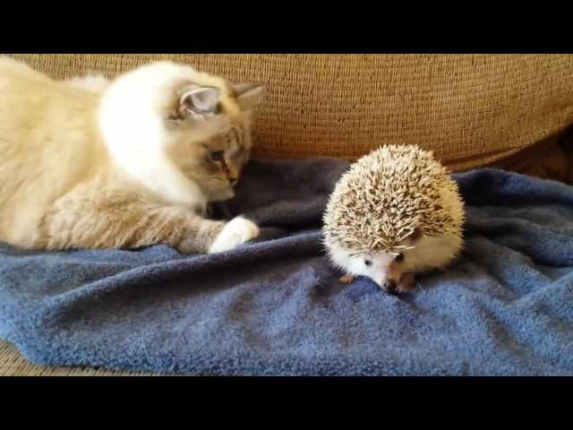 Kitty sits on hedgehog!