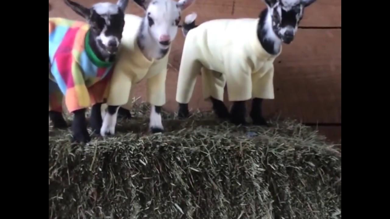 Goat Kid Pajama Party