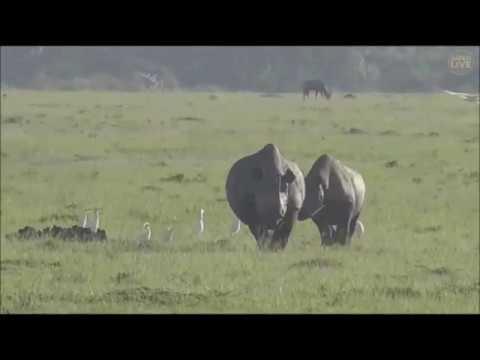 Safari Live : Six Black Rhinos in the Mara Triangle with Tayla Dec 20, 2017