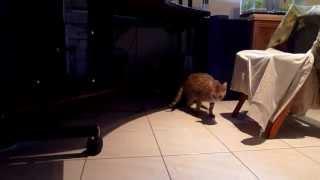 Котёнок породы Саванна (5 с половиной недель)