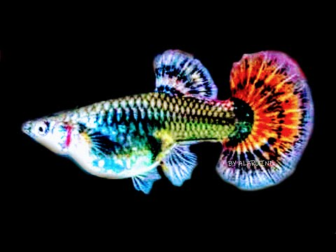 My Guppies Fish Edited Video FISH TANK AQUARIUMS Nature Aqua