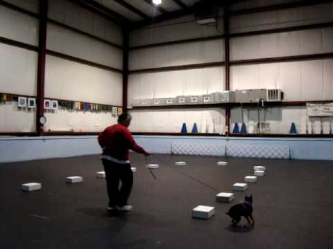 Min Pin Nosework @ MasterPeace Dog Training.MPG