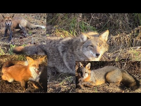 Dirt hole sets and location | Coyote and fox trapping for beginners