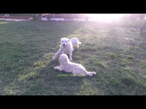 Akbash and Two Terrier Dogs Playing Part 1