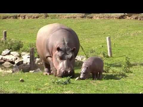 La première apparition de ce bébé hippopotame au parc Planète Sauvage