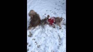 Molly playing and loving the snow Yorkies Rock !