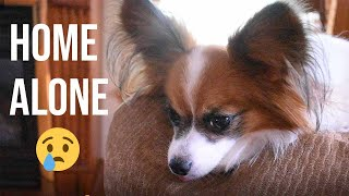 How My Dog Reacts When I Arrive Home // Percy the Papillon Dog