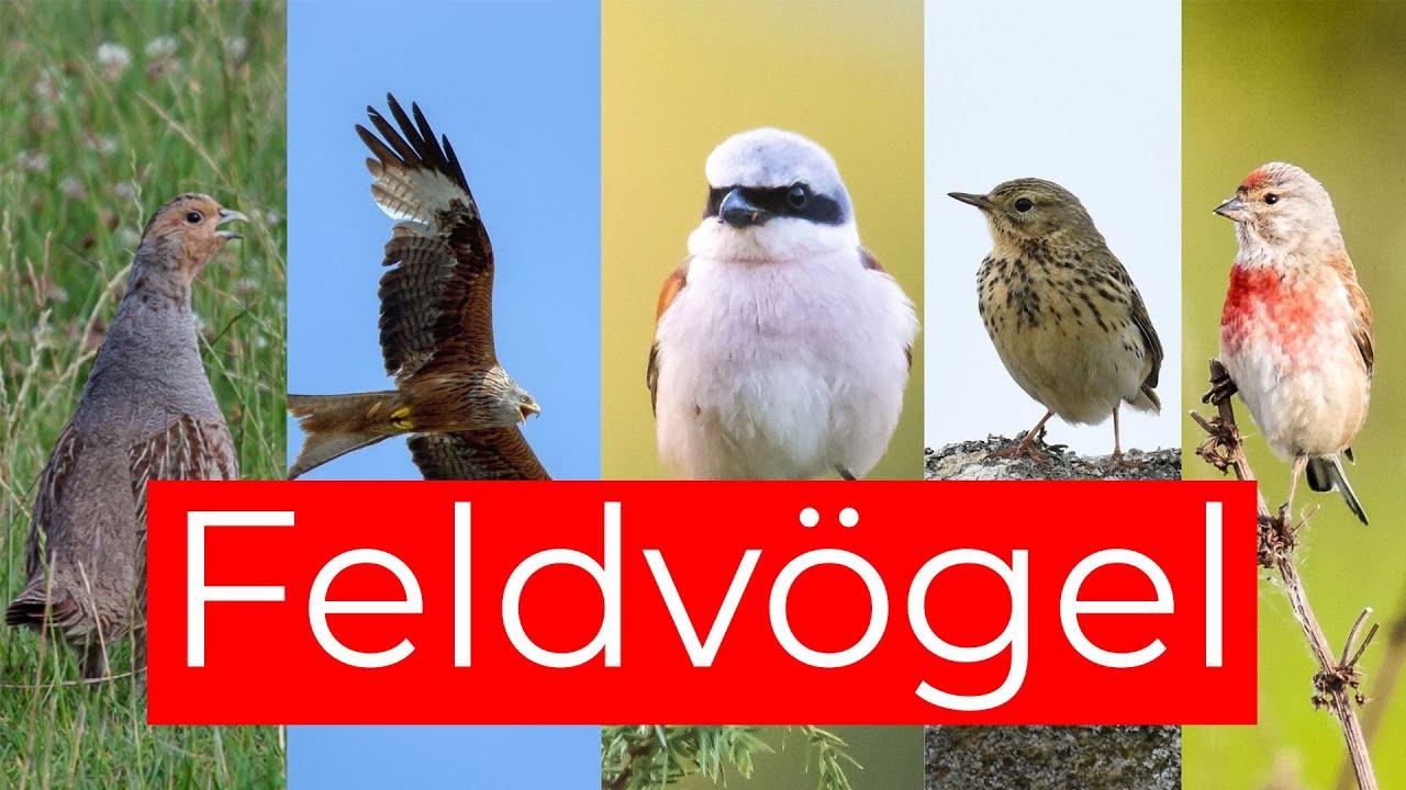 Vögel der Agrarlandschaft und ihr Gesang   10 Feldvögel
