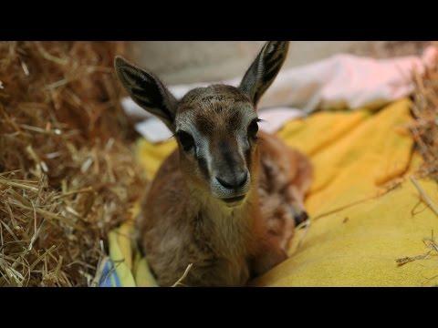 Cute baby Thompson's gazelle hand-reared