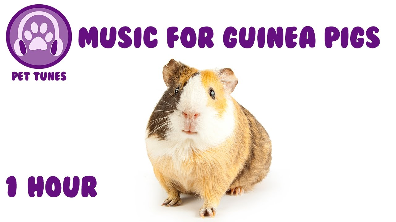Music For Guinea Pigs Relaxing Music For Guinea Pigs Youtube