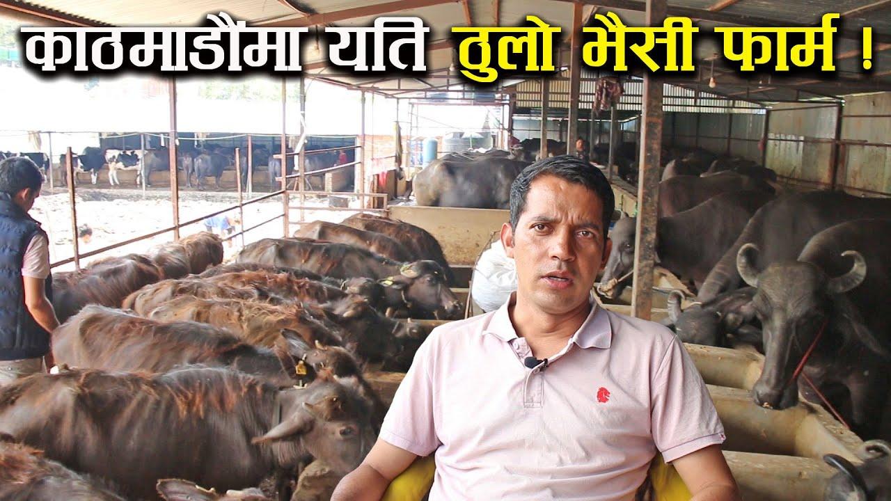 ५ करोडको लगानीमा दाजुभाई मिलेर खोले यति ठुलो भैसी फार्म ! - Buffalo farming/rearing in Nepal