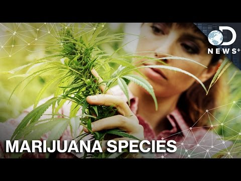 Where Did Marijuana Come From, And How Did It Spread?