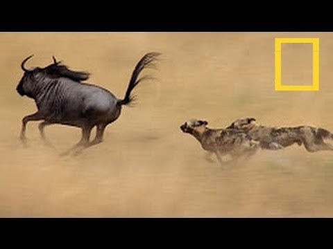 "A Wild Dog's Tale - ""Unlikely Animal Friends"" [ National Geographic  Documentary ] HD"