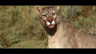 Лигр, Гепард, Пума  Снежный Барс, ( Ирбис)Best kids TV.  Мир животных.