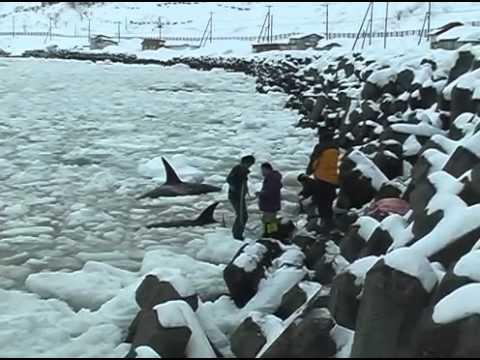 Mass Stranding of Killer Whales in Sea Ice off Shiretoko