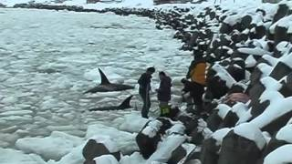Mass Stranding of Killer Whales in Sea Ice off Shiretoko