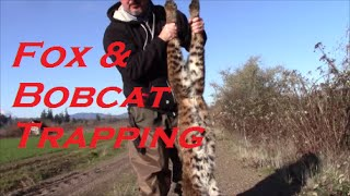 Trapping Bobcats and Fox...Good Days on the Trap Line