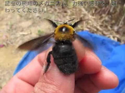 クマバチさんをさわってみよう