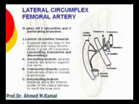 Medial Circumflex Femoral Artery 58 L Limb Lateral circ...