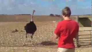 Ostrich dancing with a flute song