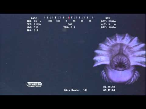 Alien looking creature drifting past ROV camera at over 7000ft near ocean floor