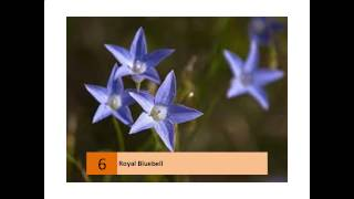 Royal Bluebell
