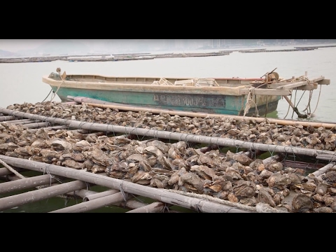 How Science is Saving Hong Kong's Oyster Industry