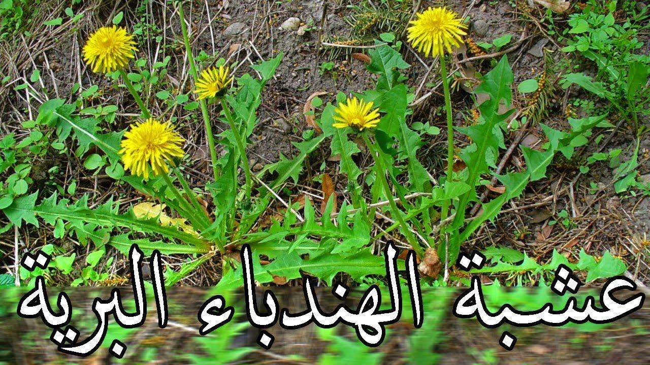 عشبة رجل الاسد بالمغربية