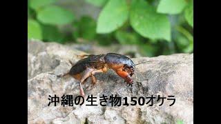 沖縄の生き物150オケラ