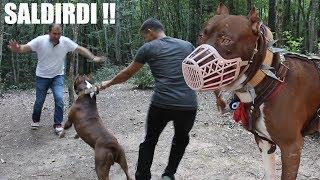 PİTBULL ÇOK SİNİRLENDİ BUKEZ (Pitbull ile Şaka olmaz) Strongest dogs,  Pitbull Training, Guard dog